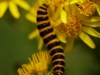 Caterpillar of the cinnabar moth on ragwort