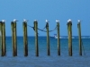 Terns on mussel poles